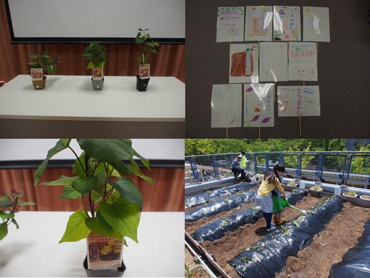20170603サツマイモ植え03