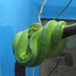 ミドリニシキヘビ2